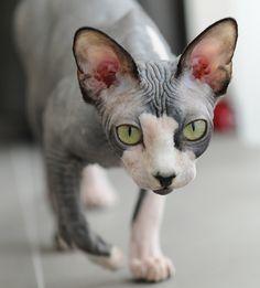 Hugo the Sphinx cat.