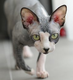 Hugo the Sphinx cat. Dude I LOVE these cats