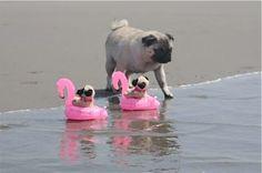 Puglets ride flamingo floaties