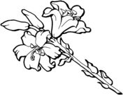 Iris Flower Blossom Coloring page