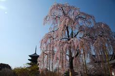 京都 東寺   桜