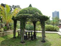 Google Image Result for http://elpasonovicegardener.files.wordpress.com/2011/06/ficus_microcarpa_topiary_plants.jpg