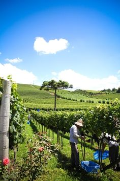 experience the wines of brasil