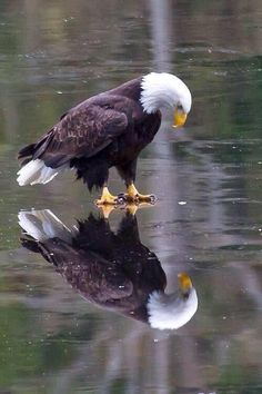 Bald Eagle on Ice!