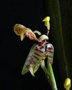 Sigmatostalix eliae
