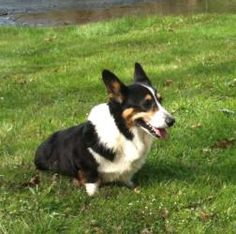 Milo (Chattanooga, TN) is an adoptable Welsh Corgi Dog in Edisto Island, SC.  This is Milo Boy! Milo is  a beautiful tri-color Pembroke Welsh Corgi who was found abandoned on a roadside in Loudon Co....