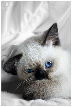 Photographie dun petit chat siamois: Too Shy Muff! - Biographies dartistes et de peintres célèbres, analyses doeuvres, mouvements artistiques pour votre brevet de lhistoire de lart. Peintures et photographies de Mik-Art
