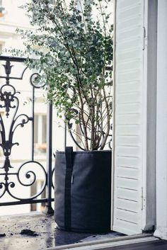 Eukalyptusbaum als Topfpflanze auf dem Balkon