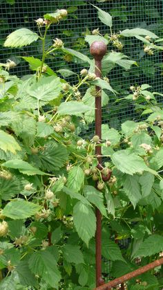 Raspberry Canes, Fruit Cage, Fruits And Vegetables, Asparagus, Fruits And Veggies