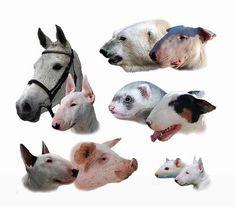 No, I'm Not!!! I'm Bull Terrier!!!