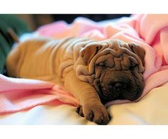 Wrinkle face pup