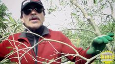 Potatura Ulivo: Riconoscere i rami esauriti Rami, Mens Sunglasses, Green, Gardening, Style, Olive Tree, Calendar, Bedroom, Living Room