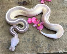 Vanilla Fire Cinnamon Mojave Female (Savannah Cream) Ball Python by Phoenix Reptiles - MorphMarket USA
