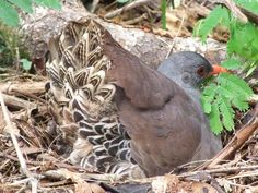 TATAUPA TINAMOU (Crypturellus tataupa). The tataupa tinamou is approximately 25 cm (9.8 in) in length. Its upper parts are dark brown, with a dark brown crown, a pale grey throat. It has darker grey on the sides of its head, neck, and breast, with a buff belly. Its bill and legs are purplish red.