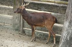 ThePhilippine deer(Rusa marianna), also known as thePhilippine sambaror thePhilippine Brown Deer