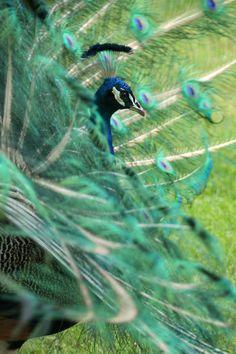 'Peacock behind feather veils - Pfau hinter Federschleier' von Ralf Rosendahl bei artflakes.com als Poster oder Kunstdruck $16.63