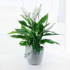 Peace Lily | FlyingFlowers.co.uk