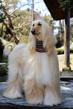 best images, photos and pictures ideas about afghan hound dog - oldest dog breeds Funny Dogs, Cute Dogs, Animals And Pets, Cute Animals, Saarloos, Photo Animaliere, Easiest Dogs To Train, Afghan Hound, Best Dog Breeds