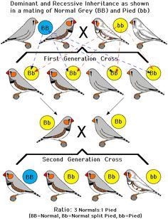 Zebra Finch Mutations | Zebra Finch Color