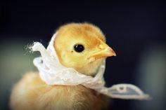 pollito tierno pollito hermoso - Buscar con Google