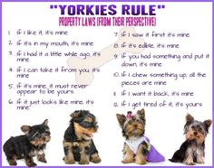 Yorkie Rules - from their perspective...