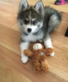 Meet Norman, A Husky-Pomeranian Puppy That's So Cute It Doesn't Even Look Real Norman der Pomsky Pomsky, Pomeranian Puppy, Husky Puppy, Pomeranians, Cute Baby Animals, Animals And Pets, Funny Animals, Wild Animals, Funny Dogs
