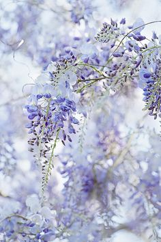 Wisteria, such a beautiful flower, my favorite.