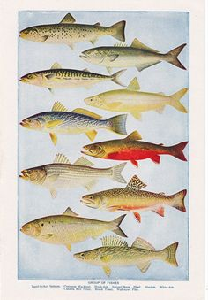 Vintage fish illustration, This is a page from a 1920's era encyclopedia with a lot of vintage charm. It measures 9 by 6 inches. It is titled 'Group of Fishes.' Featured are salmon, Mackerel, Bass, Shad, White Fish, Trout, and Pike.