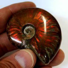 172 Ct Top Red Opalized Ammolite Irridescent Ammonite Shell Reiki Fossil AMM92   eBay