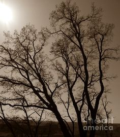 Maryhill Tree Sepia  Photograph- Chalet Roome-Rigdon