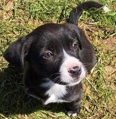 Meet Olivia, a Petfinder adoptable Labrador Retriever Dog | Lacona, NY | 5/20/15:  Olivia , Adopted
