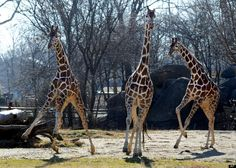 These giraffes totally look like they are dancing.