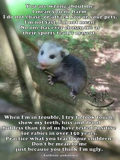 Opossums eat ticks and fleas! I don't understand that people who hate any animal and I think opossums have really cute look Animals And Pets, Baby Animals, Funny Animals, Cute Animals, Wild Animals, Nocturnal Animals, Exotic Animals, Beautiful Creatures, Animals Beautiful