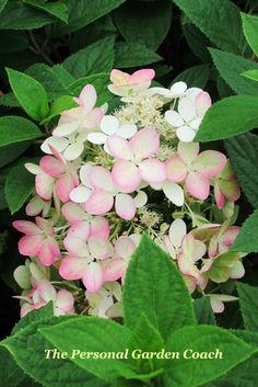 Hydrangea P. 'Angel Blush'