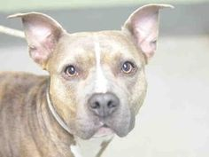 TO BE DESTROYED 10/09/17: ****MUST BE PULLED BY A NEW HOPE RESCUE****CHIPPER – 8116 (A1126693)