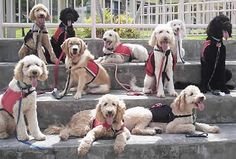 Animal Assisted Therapy is becoming more and more common, and trained therapy dogs have many uses, helping and healing in many health fields.