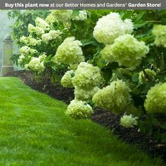 'Limelight' Hydrangea Paniculata:  flowers open in a lovely chartruse color and then fade to pink in the fall.