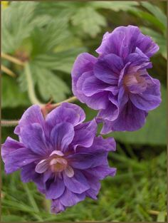 Geranium himalayense 'Plenum' H40cm S60cm. Violet blue flowers tinged with pink above mounds of bold green foliage. Foliage develops good autumn colour.