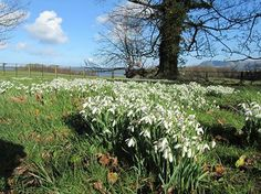 Snowdrops at Penrhyn Castle, North Wales.