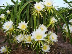 Dragon fruite flowers