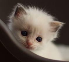 Ragdoll Cats and Kittens | Tz Katz Ragdoll Cats and Kittens: 2011 Desk Calendar!!!