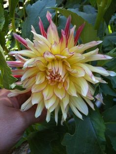 Dahlia Vurrvogel- this was a new one for me.  Love the different colors.  cant wait for it to come up this year.