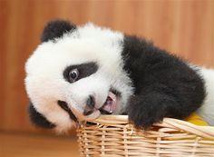 Just pandas playing with stuffed animals Pics) Panda Bebe, Cute Panda, Hello Panda, Panda Lindo, Panda Pillow, Pandas Playing, Cute Little Animals, Cute Creatures, Animals Beautiful