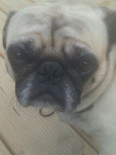 Pug face,sooo  cute