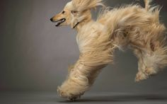 Jumping Afghan Hound Puppies HD Wallpapers
