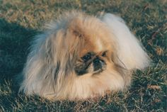 #Pekingese - Waverly