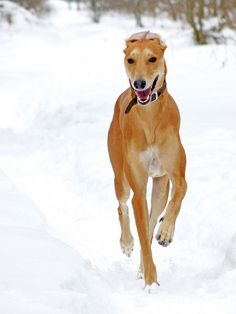 The beautiful greyhound looks sooooo happy and proud!
