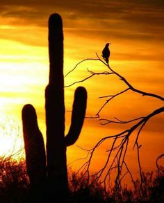 Cave creek sunset with gambi quail