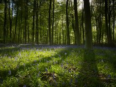 Sunshine on the Bluebells at Blackwood Forest