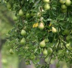 Starting an Orchard: Apples, Cherries, Peaches, Plums and Pears. /Motherearthnews